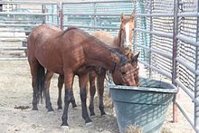 three horses in a metal pipe corral surrounding a water trough