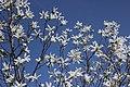 Willow-leafed Magnolia - Magnolia salicifolia (33382454554).jpg