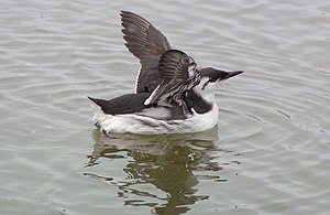 Common murre - Adult bird in basic (winter) plumage, Germany