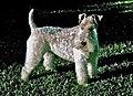 Wire Fox Terrier Beamer.JPG