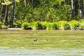 Wood duck (41743848392).jpg