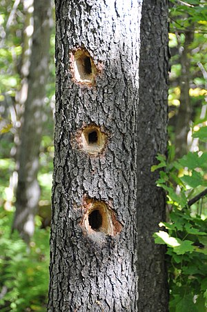 Woodpecker - Holes bored by feeding woodpeckers