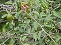 Woolly Caper Bush (Capparis tomentosa) leaves (12819001034).jpg