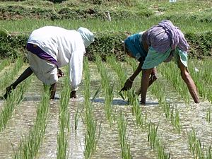 Rice Production In India Wikipedia