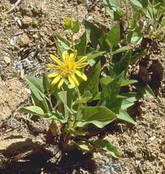 Pine Hill Ecological Reserve - El Dorado mule ears (Wyethia reticulata).