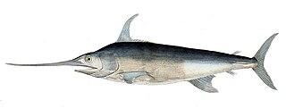 Swordfish species of fish