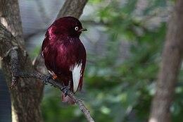 Xipholena punicea -Miami Metrozoo -male-8a