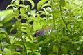 Xiphophorus hellerii fry 05.jpg
