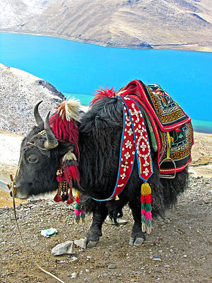 Alpine-steppe - Image: Yak in Tibet 2