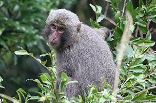 Yakushima macaque Subspecies of Old World monkey