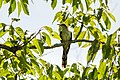 Yellow-billed cuckoo (29705325668).jpg