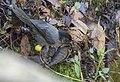 Yellow-thighed Finch, San Gerardo de Dota--Sendero Catarata, Costa Rica (38392442976).jpg