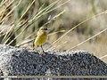 Yellow Wagtail (Motacilla flava) (46574228822).jpg