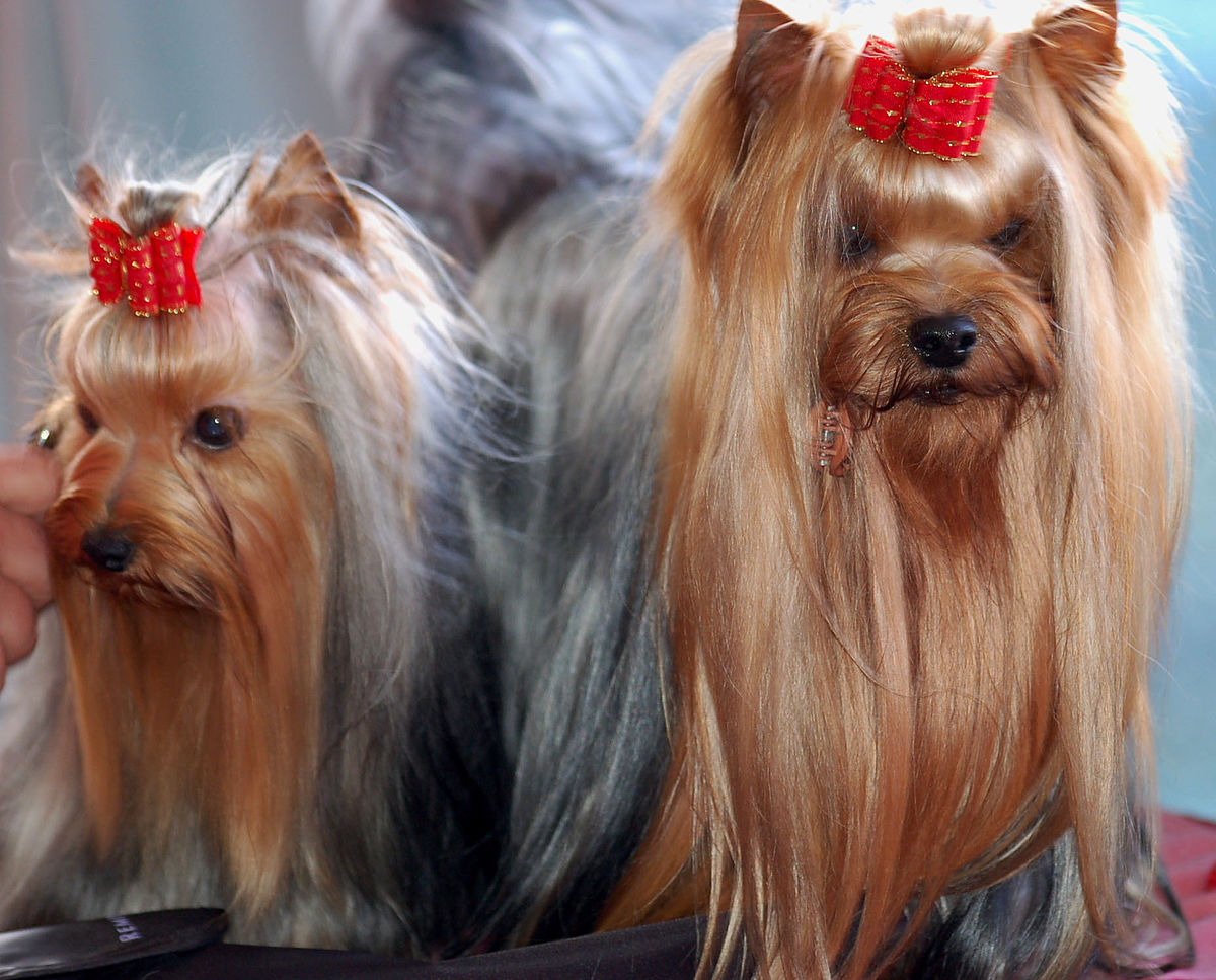 Yorkshire Terrier Wikipedia Wolna Encyklopedia