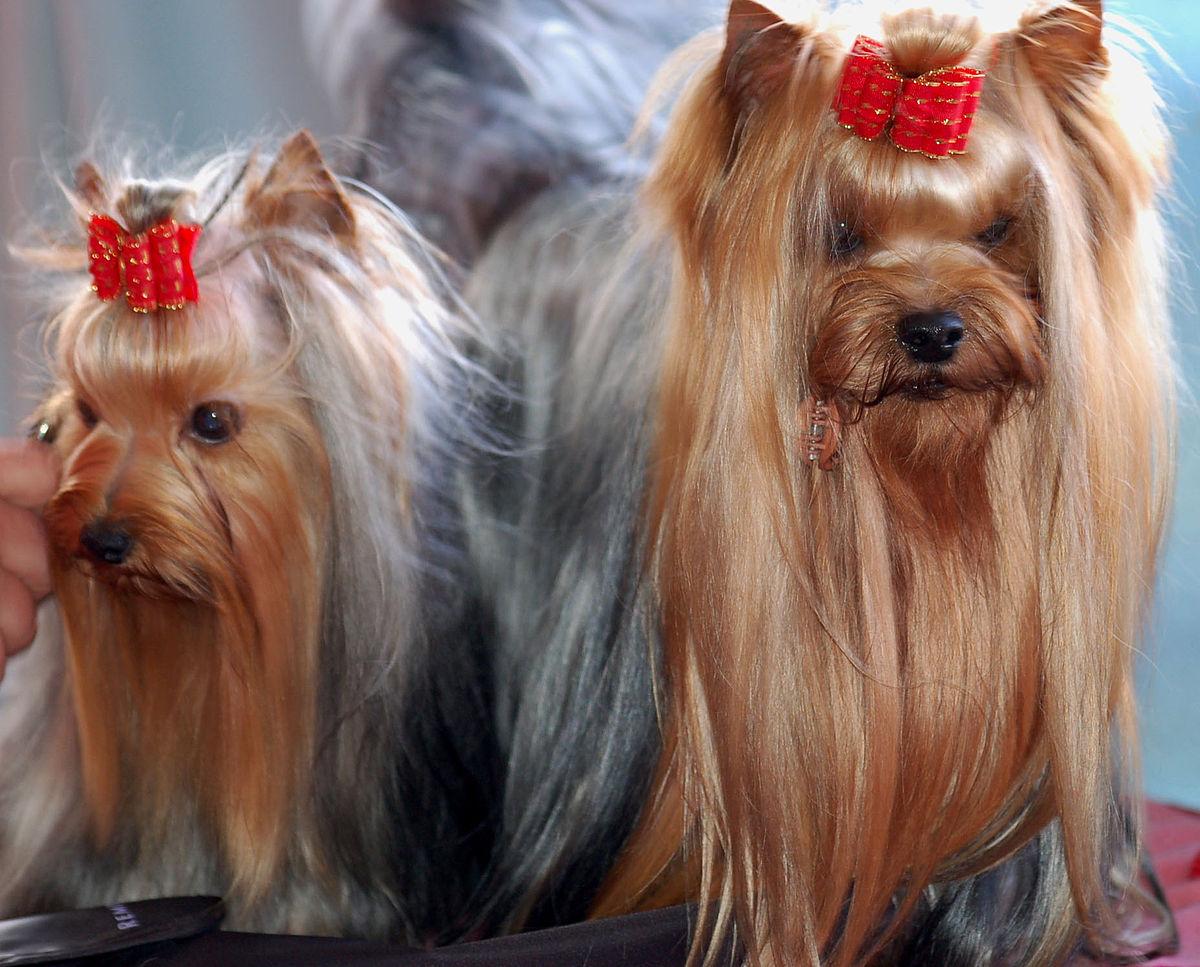 Yorkshire Terrier Wikipedia Wolna Encyklopedia