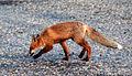 Young vulpes vulpes near N98 Finnmark Norway-2012-07-09-16-55-030.jpg
