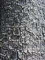 Yucca filifera (7996975236).jpg