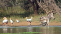 Zebra Escapes the Jaws of 2 Crocodiles HD 1.png
