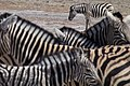 Zebra at Etosha National Park.jpg