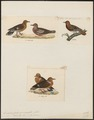 Zenaida spec. - 1700-1880 - Print - Iconographia Zoologica - Special Collections University of Amsterdam - UBA01 IZ15600451.tif