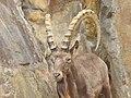 Zoo Berlin - Steinbock (Mountain Goat) - geo.hlipp.de - 40696.jpg