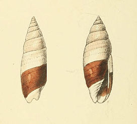 Zoological Illustrations Mitra bicolor.jpg