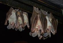 (1)Ghost bats-5.jpg