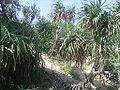 (Pandanus odoratissimus) thatch screwpine bushes near Bheemunipatnam 03.jpg