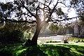 Árvore na Gulbenkian (2905236000).jpg