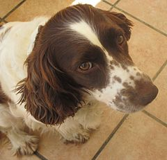 English Springer Spaniel - Wikipedia