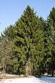Дерево з півночі.jpg