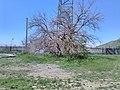Маклюра оранжева, дерево, Очаків.jpg