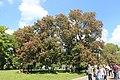 Національний ботанічний сад ім. М.Гришка Гіркокаштан криваво-м'ясний 02.jpg