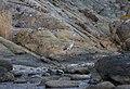 Серая цапля - Ardea cinerea - Grey heron - Сива чапла - Graureiher (37504678070).jpg