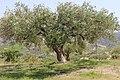 Старая олива. Винодельня Boutari. Skalani. Iraklion. Crete. Creece. Июнь 2013 - panoramio.jpg