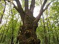 Столітній дуб (Парк в Кияниці).jpg