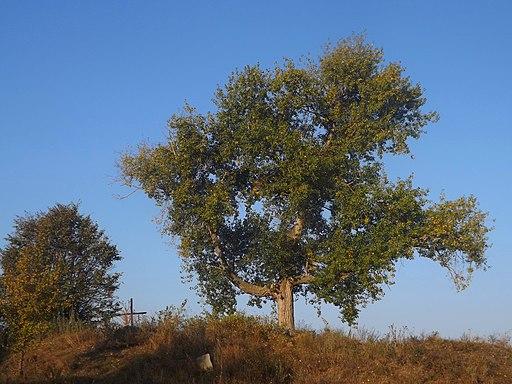 Тополя у формі тризуба у с.Трахтемирів