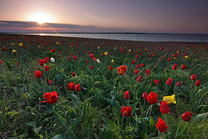 Pontic–Caspian steppe - Tulipa suaveolens is one of the most typical spring flowers of the Pontic-Caspian steppe.