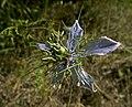 Чернушка дамасская - Nigella damascena - Love-in-a-mist - Дамаска челебитка - Jungfer im Grunen (18650935903).jpg