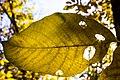 برگ زرد-پاییز-yellow leaves-falling leaves-fall 02.jpg