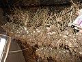 लसूण टिकवण्याची पारंपारिक पध्दत, पाराळा, औरंगाबाद Tradiional storage method for Garlic, Parala, Aurangabad 1.jpg