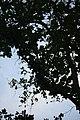 মধুপুর জাতীয় উদ্যানের বৃক্ষ ২.jpg