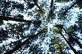 ป่าสน.jpg