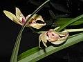 四季新品蝶 Cymbidium ensifolium 'New Butterfly' -香港沙田國蘭展 Shatin Orchid Show, Hong Kong- (12168206186).jpg