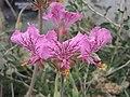 天竺葵屬 Pelargonium endlicherianum -倫敦植物園 Kew Gardens, London- (9200881326).jpg