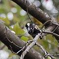 小啄木鳥 (31475082154).jpg