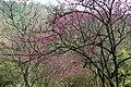 山櫻 Cherry Blossoms - panoramio.jpg