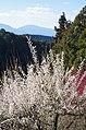広橋梅林から葛城山を見る 2014.3.22 - panoramio.jpg