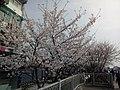 漕宝路七号桥头的樱花树.jpg