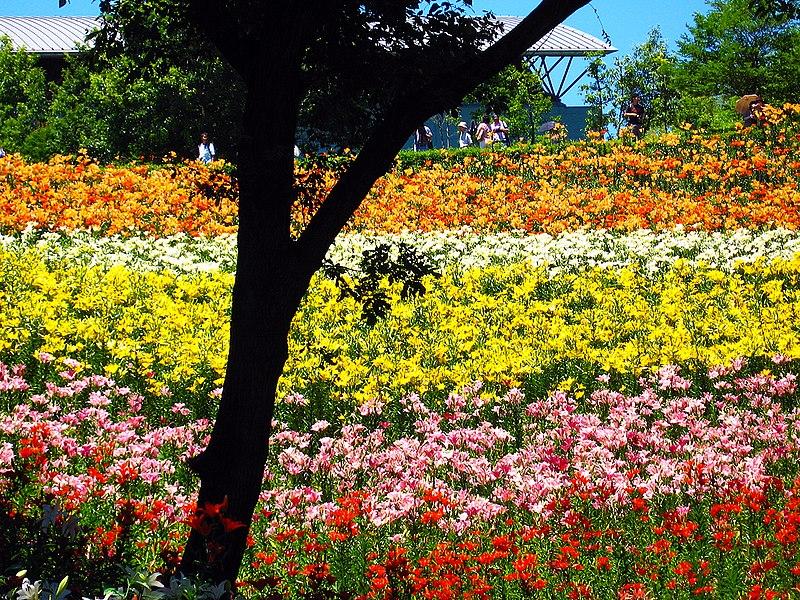 File:狭山丘陵のゆり園 (Lily Garden in Tokorozawa) 23 Jun, 2007 - panoramio.jpg